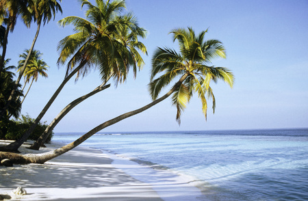 over the edge: Maldive Islands, Coconut Palms On Beach