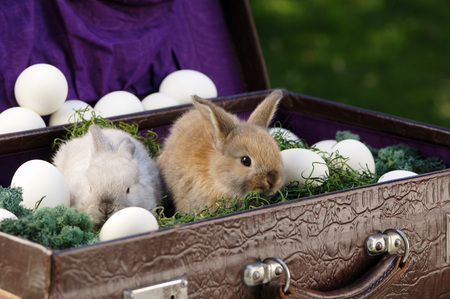 rabit: Rabbits Sitting In Briefcase With Eggs, Close-Up