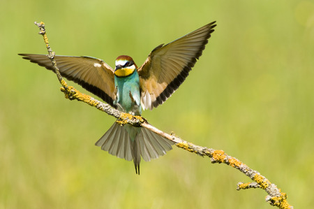 Bee-Eater Landing On Branch, Close-Up