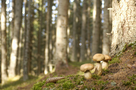Ceps In Forest