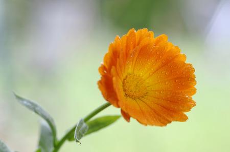 remedial: Calendula Officinalis, Close-Up