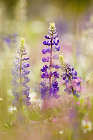 Wild Lupines In Field, Close-Up