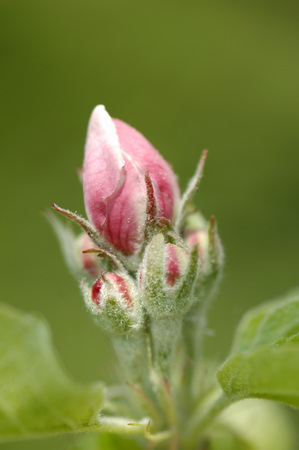 Appleflower Bud