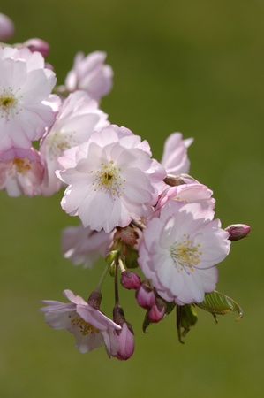 Cherry Blossoms, Close-Up LANG_EVOIMAGES