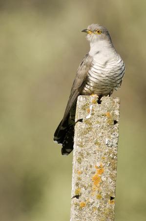 Cuckoo, Close-Up