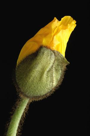 Corn Poppy Bud, Close-Up LANG_EVOIMAGES