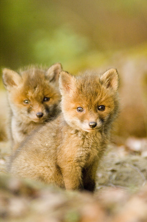 Red Fox Whelps In Forest LANG_EVOIMAGES