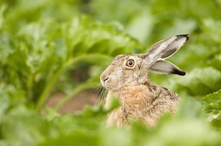 lapin: Lièvre dans le champ