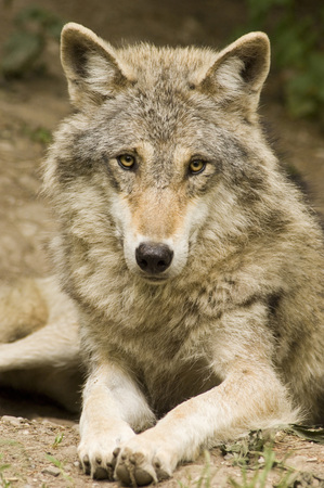 Wolf, Canis Lupus LANG_EVOIMAGES