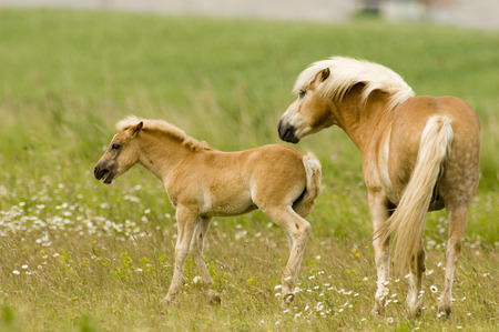 Exmoor-Pony With Foal