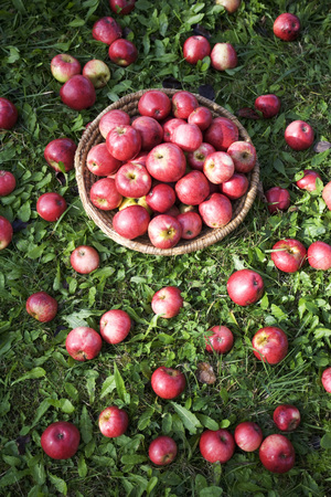 Apples In Basket On Meadow, Close-Up LANG_EVOIMAGES