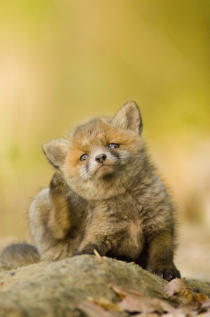 Red Fox Whelp LANG_EVOIMAGES