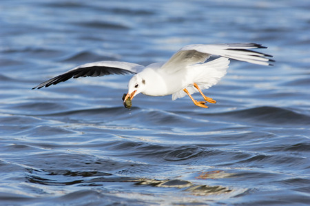 Black-Headed Gull, Close-Up