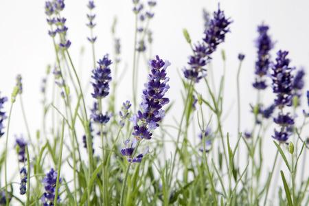 remedial: Lavender Flowers, Close-Up LANG_EVOIMAGES