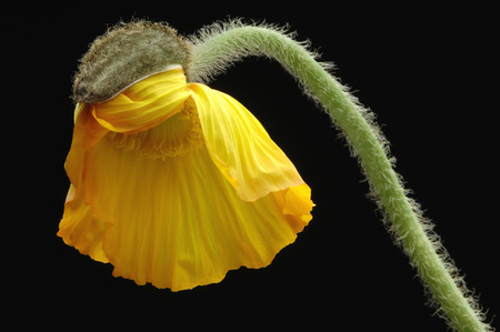 Corn Poppy Bud, Close-Up LANG_EVOIMAGES
