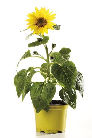 Potted Sunflower, Close-Up LANG_EVOIMAGES