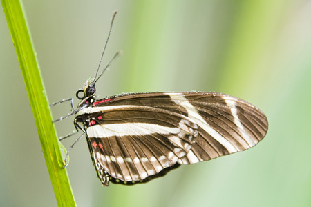 Zebra Longwing, Close-Up LANG_EVOIMAGES