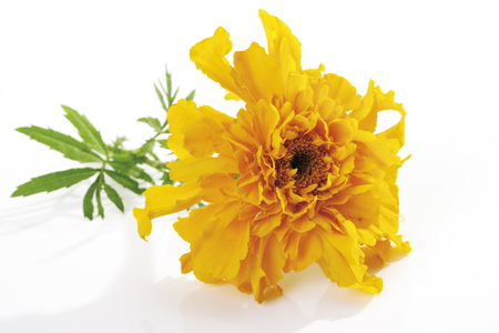 Yellow Blossom Of Marigold (Tagetes), Close-Up LANG_EVOIMAGES