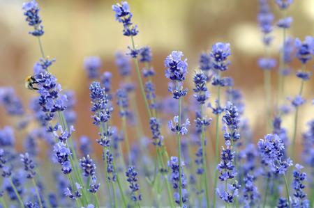 Lavender, Close-Up LANG_EVOIMAGES