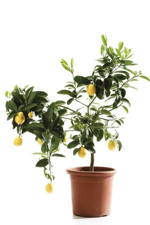 Potted Limequat Tree (Eustis Limequat), Close-Up