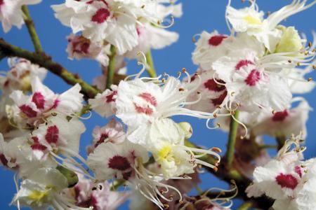 Blossoms Of Chestnut Tree (Aesculus Hippocastanum), Close-Up