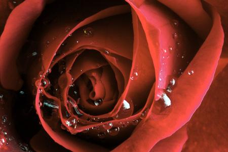 Red Rose, Full Frame