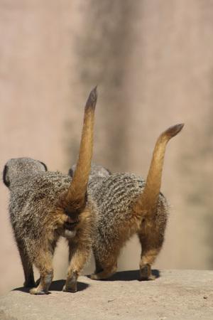 Two Meerkats, Rear View