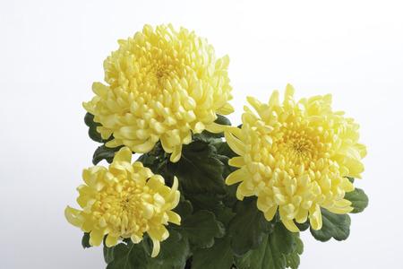 Yellow Chrysanthemum (Chrysanthemum Indicum), Close-Up LANG_EVOIMAGES