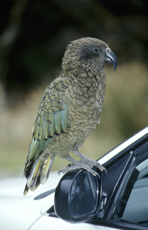 full length mirror: New Zealand, South Island, Side View Of Kea, Animal Portrait