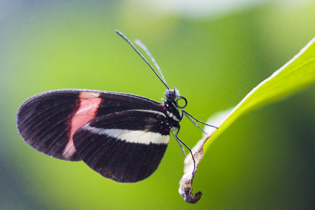 cowering: Postman Butterfly (Heliconius Erato), On Leaf