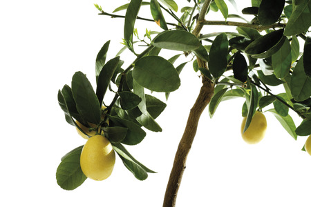 Limequat Tree (Eustis Limequat), Close-Up