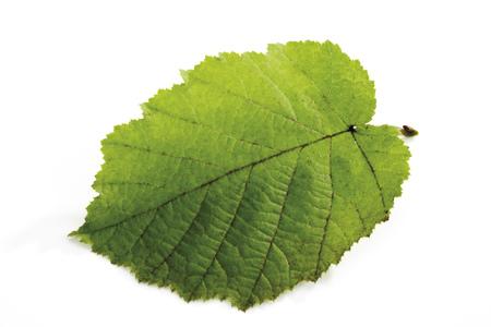 Hazelnut Leaf, Close-Up