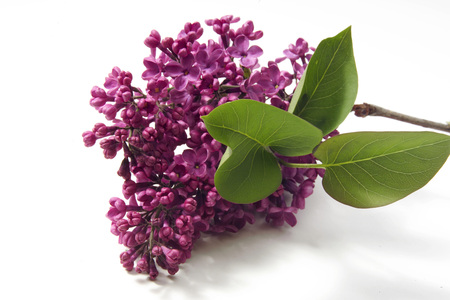 Lilac Syringa Vulgaris LANG_EVOIMAGES