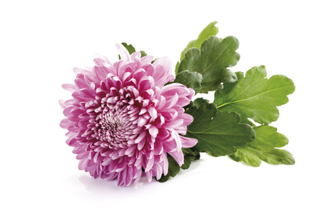 Chrysanthemum (Chrysanthemum Indicum), Close-Up