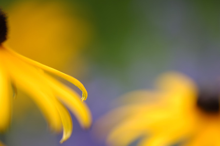 Coneflowers, Close-Up LANG_EVOIMAGES