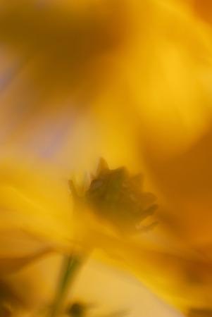 Coreopsis, Close-Up
