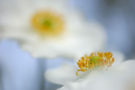 Anemone Japonica, Close-Up