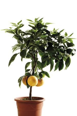 Potted Grapefruit Tree (Citrus Maxima), Close-Up