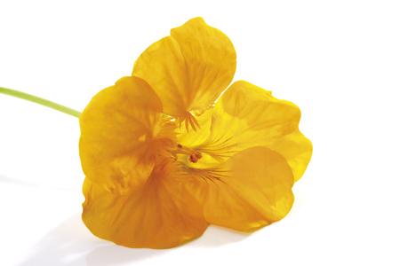 Yellow Blossom Of Nasturtium (Tropaeolum Majus), Close-Up LANG_EVOIMAGES