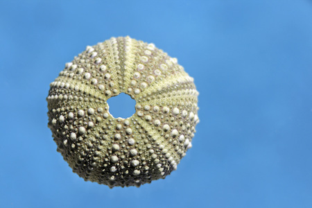 Sea Urchin Shell, Close-Up LANG_EVOIMAGES