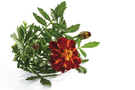Marigold (Tagetes), Close-Up