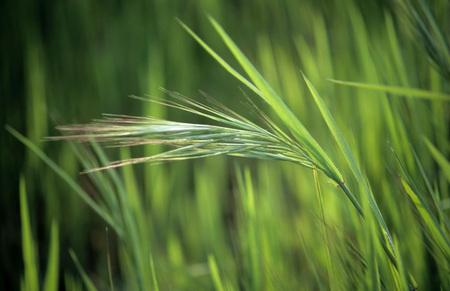 Grass,Apulia, Italy
