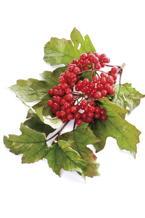 Snowball Bush With Berries (Viburnum)