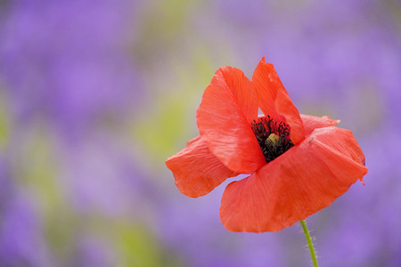 Red Poppy, Close-Up LANG_EVOIMAGES