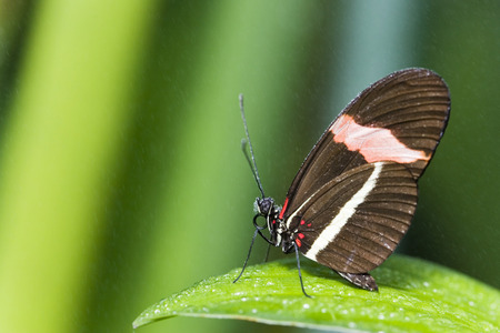 Postman Butterfly (Heliconius Erato), On Leaf