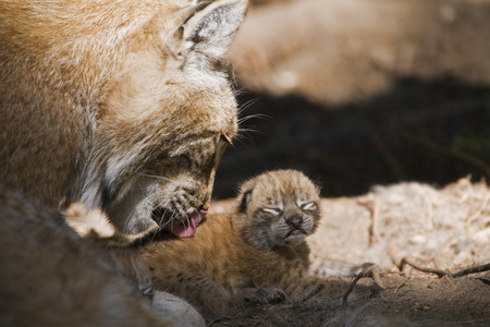 European Lynx With Cub, Close-Up
