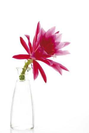 Blossom Of Cactus In Vase (Epiphyllum), Close-Up