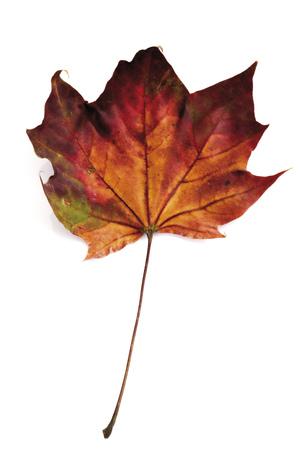 Autumn Colored Maple Leaf, Close-Up LANG_EVOIMAGES