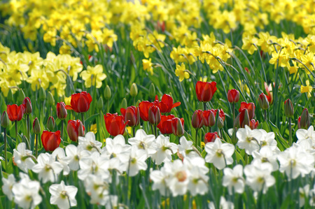 Daffodils (Narzissus-Hybride) And Red Tulips (Tulipa)