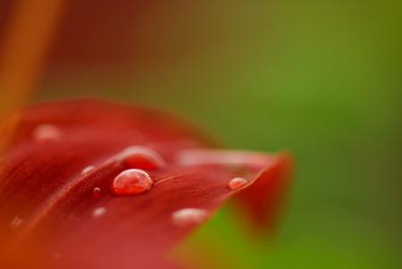 Panther Lily, Lilium Pardalinum, Close-Up